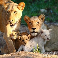 CHAD COCKING  Lioness & cubs