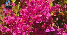 Primavera chama atenção pela cor  da flor e é usada para revestir cercas
