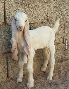 This goat is more beautiful than me
