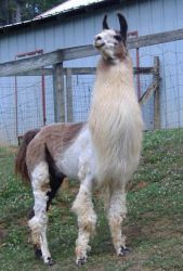 Show me the Money AKA Show is an adoptable Llama Llama in Acworth, GA. Show Me the Money - Llama Gelding DoB: 3/5/99 A former herd sire, Show has been gelded only a few months now. he is quite the gen...