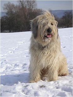 All Dogs, I Love Dogs, Dogs And Puppies, Tibet Terrier, Scruffy Dogs, Pet Breeds, Bearded Collie, Old English Sheepdog, Free Dogs