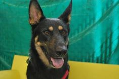 Introducing Bonnie, a 2 year old German Shepard with a heart of gold! Bonnie is well mannered and oh so lovely! Bonnie was ADOPTED! from Seattle Humane, November 2016