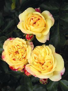 'Lampion' | Floribunda Rose. Christian Evers 2006. Introduce : Tantau 2012