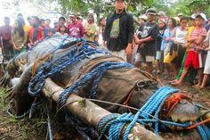 Con 6,17 m de largo, el cocodrilo de agua salada ha muerto recientemente en su casa del Bunawan Eco-Park, un centro de investigación en Bunawan ,Filipinas.    Lolong era el cocodrilo más grande en cautiverio que se ha conocido