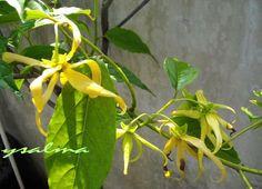 Memanfaatkan Bunga Kenanga Sebagai Pengharum Alami