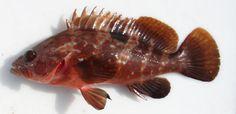 Epinephelus akaara - Hong Kong Grouper 紅斑,  赤點石斑魚