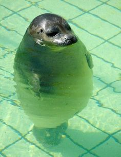 "the seal is so fat that makes him ""CUTE""!"