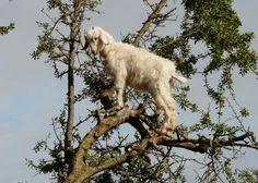 Argan Tree climbing goats in Morocco - more info see: http://www.slate.com/blogs/atlas_obscura/2014/12/11/argan_tree_goats_in_morocco.html