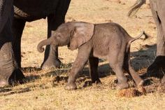 The first moments of life for a just born baby elephant, Hwange National Park