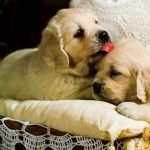 Jana & Misha's puppies from Alice in Goldenland kissing each others :) Sooo sweet <3