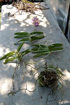 Vanda are the easiest orchids to divide. Once roots start to appear on the stem, the plant can be cut easily Vanda are the easiest orchids to divide. Once roots start to appear on the stem, the plant can be cut easily Growing Orchids, Inside Plants, Planting Flowers, Plants, Foliage Plants, Orchid Fertilizer, Succulents Indoor, Orchid Roots, Red Orchids