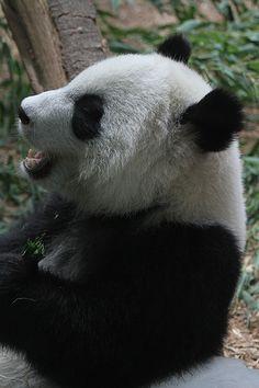 Xi Lan   Giant Panda Cub @ Zoo Atlanta   Wendell Reed   Flickr