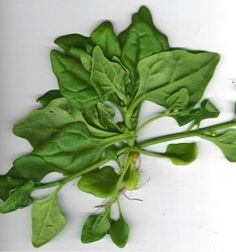 A spenót - Spinacia oleracea - paraj, spenótfa - gazigazito. Herb Garden, Spinach, Herbs, Vegetables, Herbs Garden, Herb, Vegetable Recipes, Veggies, Medicinal Plants