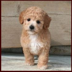 Bich-poo, Poochon, Bichon Poodle Hybrid Puppies for Sale - Puppy Breeders Specializing in Healthy, Beautiful Mixed Breeds. Super Cute Puppies, Cute Little Puppies, Cute Dogs, Poodle Dogs For Sale, Kittens And Puppies, Teacup Puppies, Bichon Poodle Mix, Bichon Frise, Poochon Puppies