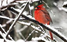 Photo Northern Cardinal by randall wilkerson on 500px