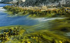 Seaweeds at The Snares Islands, New Zeland