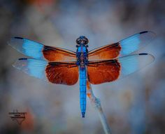 """Polubienia: 1,051, komentarze: 51 – Texas Photographer  (@texas_photographer) na Instagramie: """"️Widow Skimmer️ - The dragonfly has two sets of wings — one behind the other — that can be used…"""""""