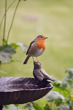 Cute European robin perched on a bird sculptured bird bath.