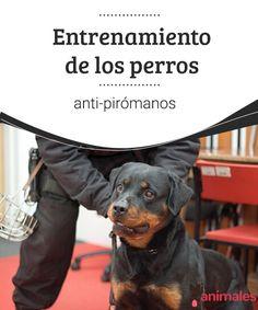 Entrenamiento de los perros anti-pirómanos  Es posible que no hayas escuhado hablar de perros anti-pirómanos, así que hoy hablaremos un poco sobre esta importante labor que desempeñan algunos caninos. #entrenar #perro #labor #curiosidades