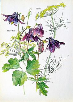 Fower Print - Columbine and Fennel - 1969 Vintage Colored Botanical Illustration.