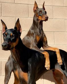 Cute Dogs Breeds, Cute Dogs And Puppies, Big Dogs, Dog Breeds, Beautiful Dogs, Animals Beautiful, Cute Baby Animals, Animals And Pets, Doberman Pinscher Dog