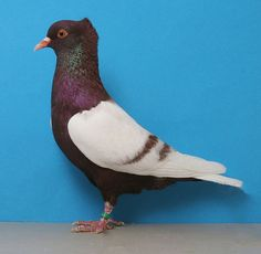 Website of the United Swallow Club Pigeon Pictures, Bird Pictures, Animal Pictures, Pigeon Cage, Create An Animal, Pigeon Breeds, Homing Pigeons, Pigeon Loft, Dove Pigeon