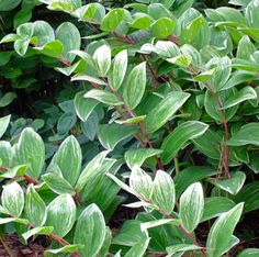 Polygonatum odoratum 'Fireworks' Short Plants, Shade Garden, Fireworks, Plant Leaves