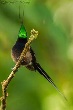 Popelairia popelairii   Flickr - Photo Sharing!
