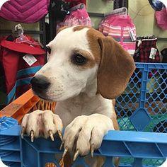 ST LOUIS, MO - Beagle/Boxer Mix. Meet Margie, a dog for adoption. http://www.adoptapet.com/pet/14488771-st-louis-missouri-beagle-mix