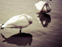Swans, Martin Mere