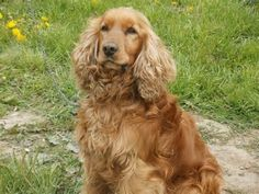 english cocker spaniel - Bing Imágenes