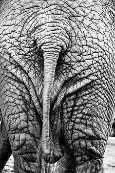 TOP 10 Differences Between African and Asian Elephanths - Top Inspired Wild Elephant, Asian Elephant, Elephant Love, Elephant Art, Ceramic Elephant, Elephant Anatomy, Animals And Pets, Cute Animals, Wild Animals