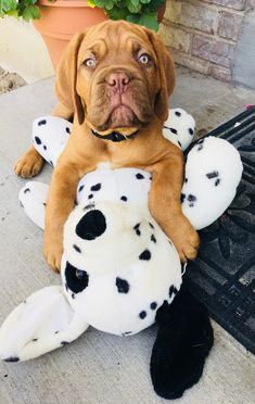 Discover The Patient Giant Mastiffs Size Animals And Pets, Baby Animals, Cute Animals, French Mastiff Puppies, Cute Puppies, Cute Dogs, Mastiff Breeds, Giant Dog Breeds, War Dogs