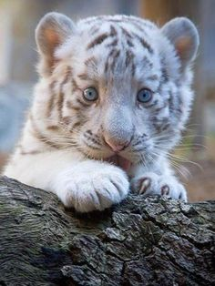 White tiger cub. Can I please have him?