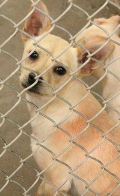 URGENT!! !*** AVAILABLE NOW 5-14 TO ADOPT!This lovely dog is still there, no intrest!! This little sweet is a male Chihuahua about 1-2 years old. He's in Kennel A11 and it's only $51 to adopt and save his life!! Most dogs get here thru no fault of their own and are owner surrenders. They're just looking for a new family to love them before it's too late. This is a high kill shelter. Odessa TX Animal Control.