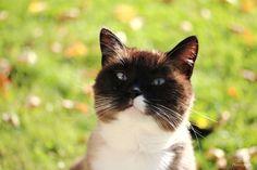 Meet Eliot a snowshoe on yummypets.com #cat #pet