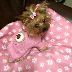 Such a cutie Baby Puppies, Cute Puppies, Cute Dogs, Dogs And Puppies, Yorkies, Yorkie Puppy, Yorkshire Terrier Dog, Biewer Yorkshire, Dog Hotel