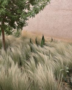 """""""This beautiful grass, moves and falls like the ocean, so calming to watch -Morocco Modern Landscaping, Landscaping Plants, Back Gardens, Outdoor Gardens, Landscape Architecture, Landscape Design, La Croix Valmer, Mediterranean Garden, Agaves"""