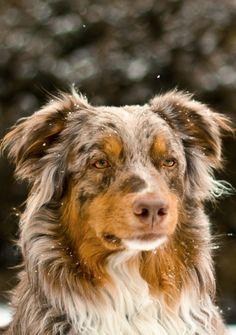 So mellow! #dogs #pets #AustralianShepherds #puppies facebook.com/sodoggonefunny