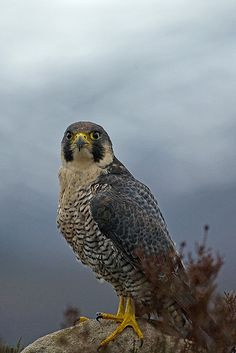 Male Peregrine Falcon   Photo by BeckH1 on Flickr
