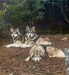 Northern Inuit - Pagan, Gemma & Shaman Utonagan Dog, Tamaskan Dog, Rare Breeds, Dog Breeds, Doggies, Dogs And Puppies, Northern Inuit Dog, Animals Beautiful, Cute Animals