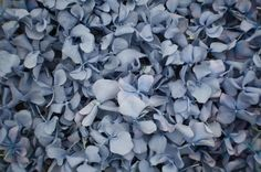 blue freeze dried hydrangea petals for natural wedding confetti. Our petals are biodegradable confetti Dried Rose Petals, Flower Petals, Dried Flowers, Rose Petal Confetti, Wedding Confetti, Blue Hydrangea Wedding, Wedding Flowers, Blue Wedding, Biodegradable Confetti