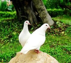 Beautiful White Pigeons Couple