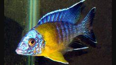 aulonocara blue neon chitimba bay