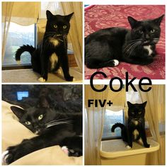 #Montreal people, open your <3 for adorable COKE who is desperately hoping to find a forever home ... This young FIV-positive boy is in good health and would make a great friend. He loves cats and people. Viisit www.facebook.com/cause4paws for details and share widely! Contact: montrealcause4paws@gmail.com