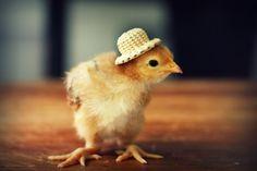 0002_7C76jV1a-un-pollito-con-sombrero-d-pollito-pollo-con-sombrero.jpg (600×400)