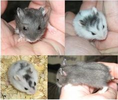 Just Pinned to Hamsters: Dwarf Hamsters http://ift.tt/2g13mR7