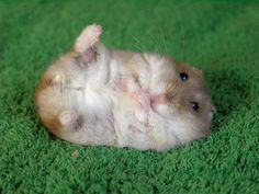 LOOK AT THE ADORABLE HAMPSTER