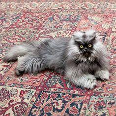 Colonel Meow ❤️