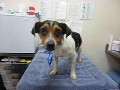 I don't have a name yet so you can (Charlie brown)name me is an adoptable Rat Terrier Dog in Carlsbad, CA.   I don't have a name yet so you can name me. I'm a male TRICOLOR RAT TERRIER/DACHSHUND SH. My age is 1 YEAR...